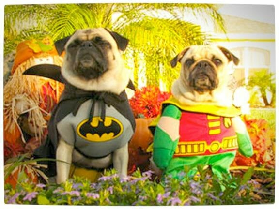 Vamers - Fandom - Batpug The Bark Knight - Batpug and Robinpug