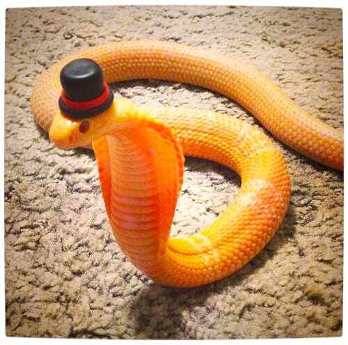 Vamers - Ermahgerd - Forget Snakes on a Plane, It Is All About Snakes Wearing Hats - Top Hat Snake